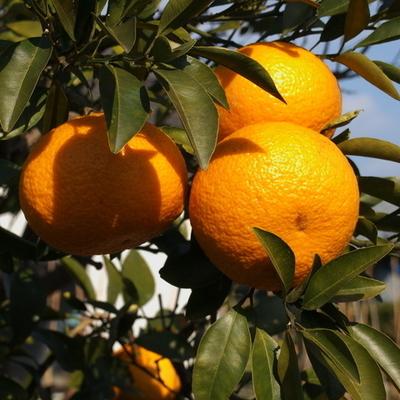 橙(精油・エッセンシャルオイル・アロマオイル)